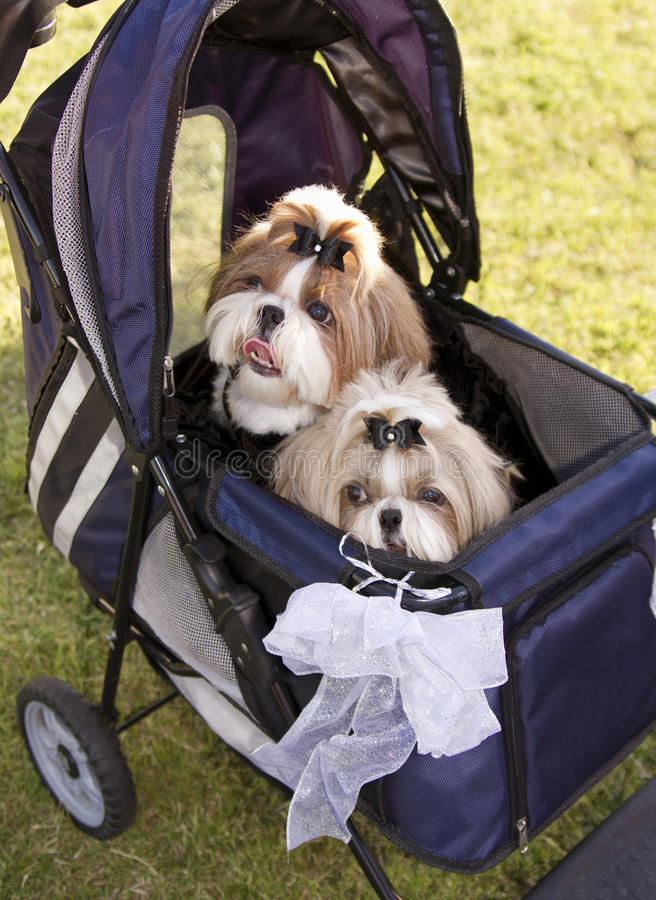Two Cute Family Dogs In A Stroller At Dog Park Stock Photo