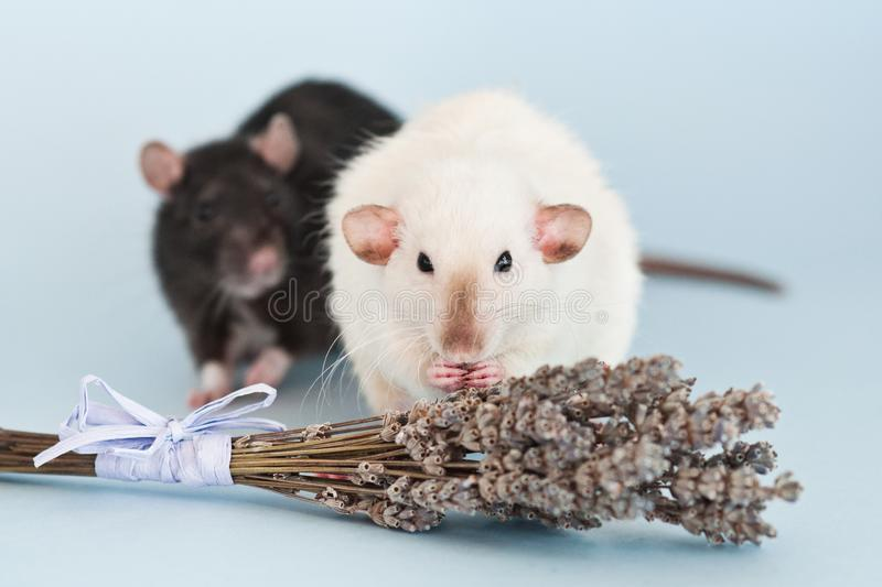 Two fancy rats with lavender flowers on blue background. Two cute fancy rats with lavender flowers on blue background royalty free stock image
