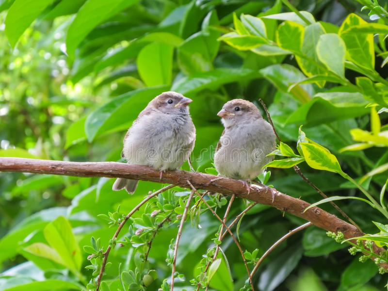 Two cute fledgling baby birds, House Sparrows, on branch. Two cute fledgling baby birds, House Sparrows, common British little brown birds, in Wales, UK royalty free stock photo