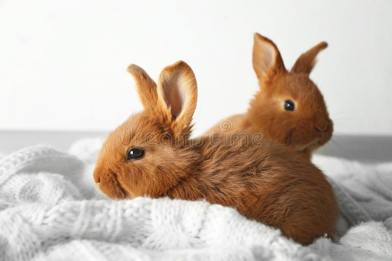 Two cute fluffy bunnies royalty free stock photo