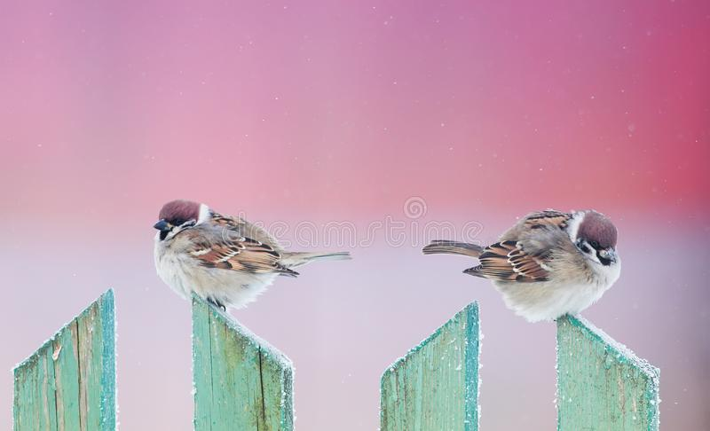 Two cute funny birds sparrows sit in the winter garden on a wood. En old fence and look in different directions stock image