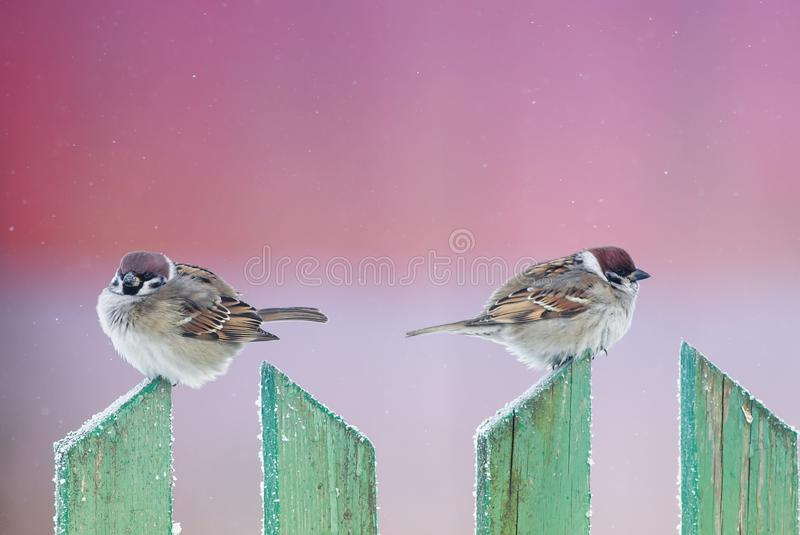 Two cute funny birds sparrows sit in the winter garden on a wood. En old fence and look in different directions stock photos