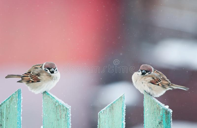 Two cute funny birds sparrows sitting in the winter garden on a. Wooden old fence royalty free stock photography