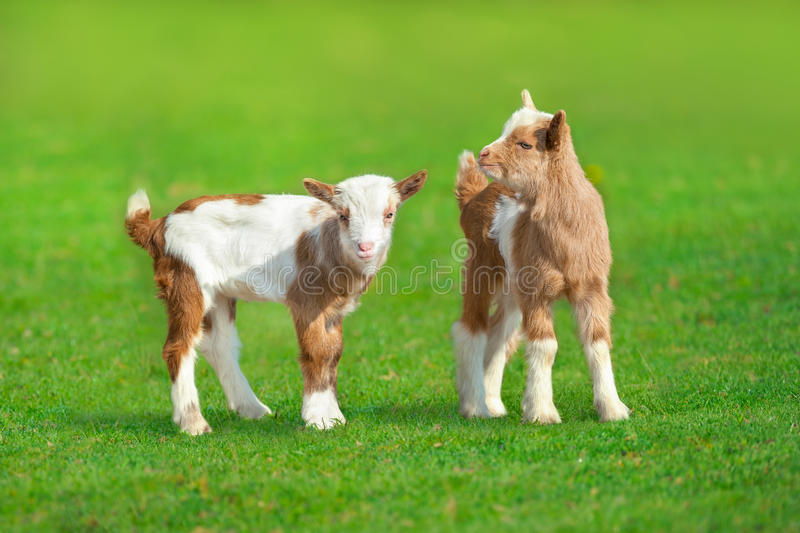 Two cute goat stock photography