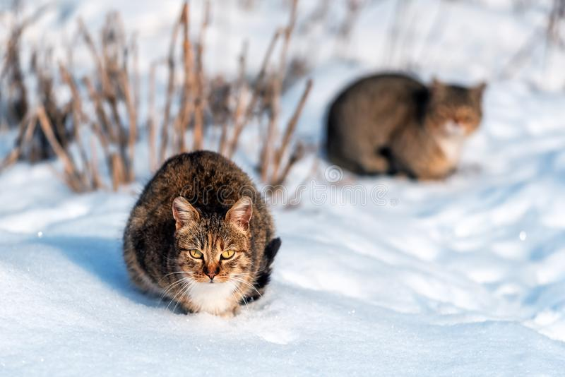 Two grey cats on the snow royalty free stock photo