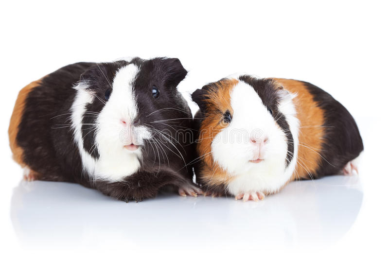 Download Two cute guinea pigs stock image. Image of indoors, purebred - 21705039