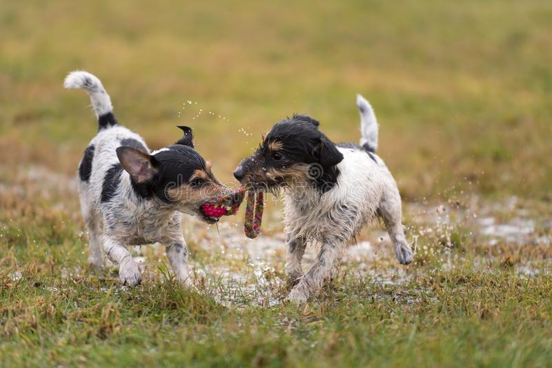 Two cute Jack Russell Terrier dogs are playing and fighting with a ball in a wet meadow snowless winter and have a lot of fun. Two small cute Jack Russell stock photo