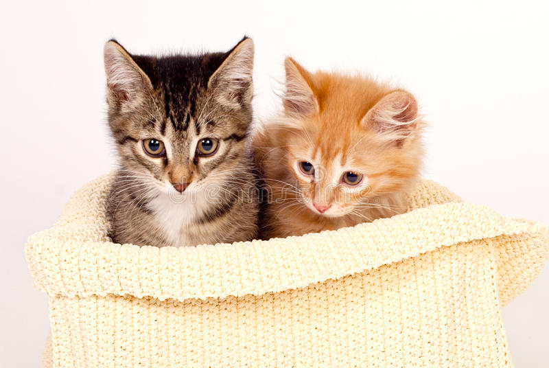 Download Two cute kittens stock image. Image of shot, feline, brown - 24585045