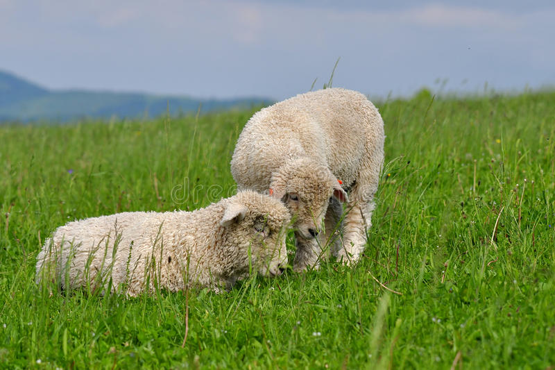 Download Two cute lambs stock photo. Image of fluffy, cattle, meadow - 14616196