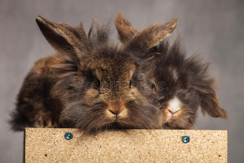 Two cute lion head rabbit bunnys looking at the camera. While lying on a wood box royalty free stock photos
