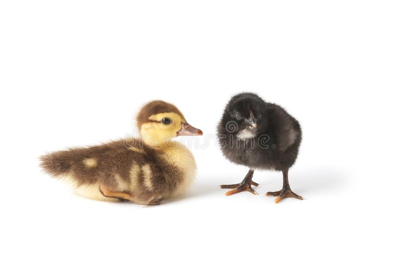 Two cute little birds. Duckling and chicken stock photos