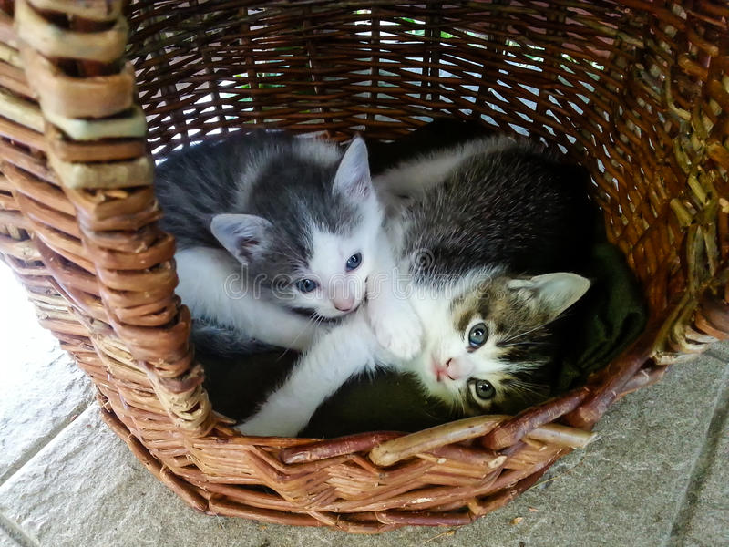 Two cute little kittens with blue eyes in a bucket royalty free stock photography
