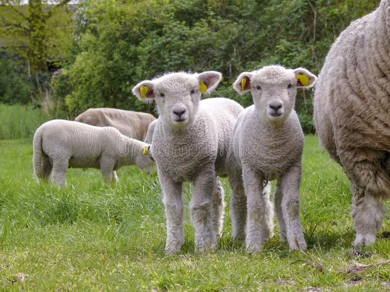 Two cute little lambs standing next to their mother sheep on a green pasture. Two cute little lambs standing next to their mother sheep and other little lambs royalty free stock photo