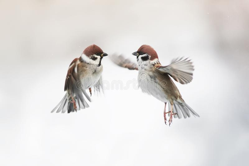 Two cute little Sparrow birds flying in the air and spread their stock image