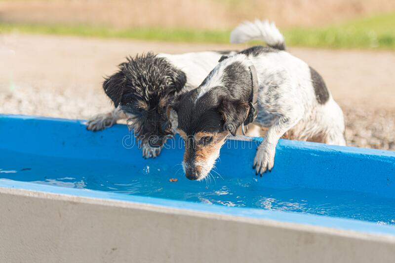 Two cute little thirsty Jack Russell Terrier dogs drinking cold water from a well on a hot summer day royalty free stock photos