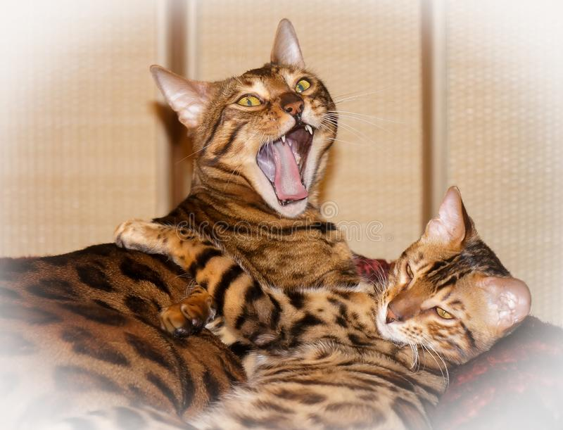 Two cute lovely sleepy bengal domestic cats. Yawn stock photography