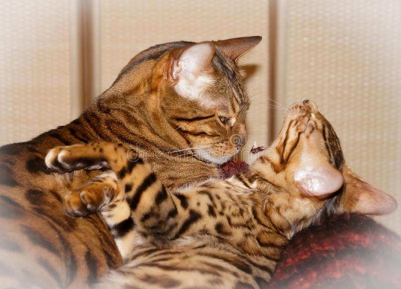 Two cute lovely sleepy bengal domestic cats. Yawn royalty free stock images