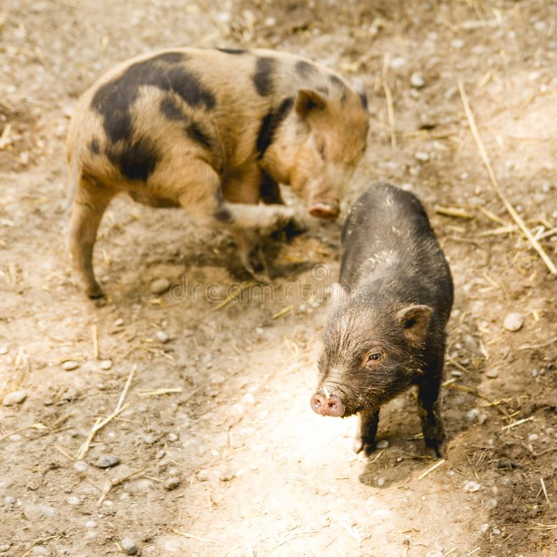 Two cute piglets on a farm. Organic farming concept royalty free stock photo