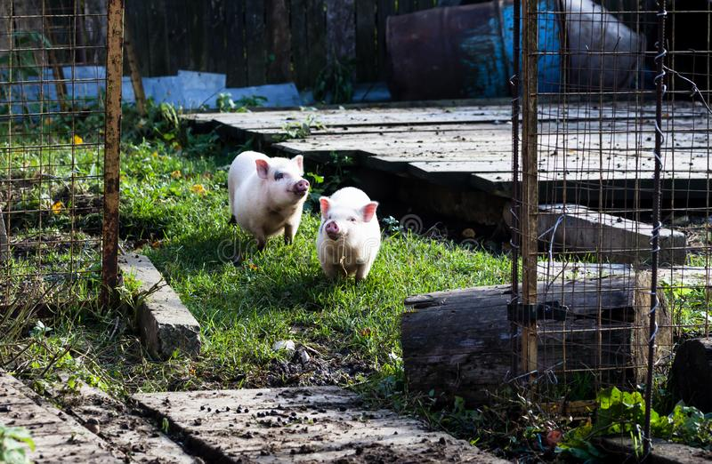Two cute domestic pink Vietnamese pigs on a walk on an organic farm stock photos