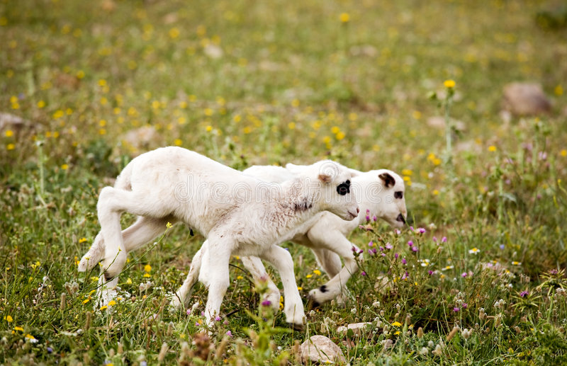 Two cute playful little lambs on meadow royalty free stock images