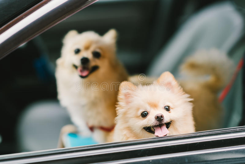 Two cute pomeranian dogs smiling on car, going for travel or outing. Pet life and family concept.  stock photography