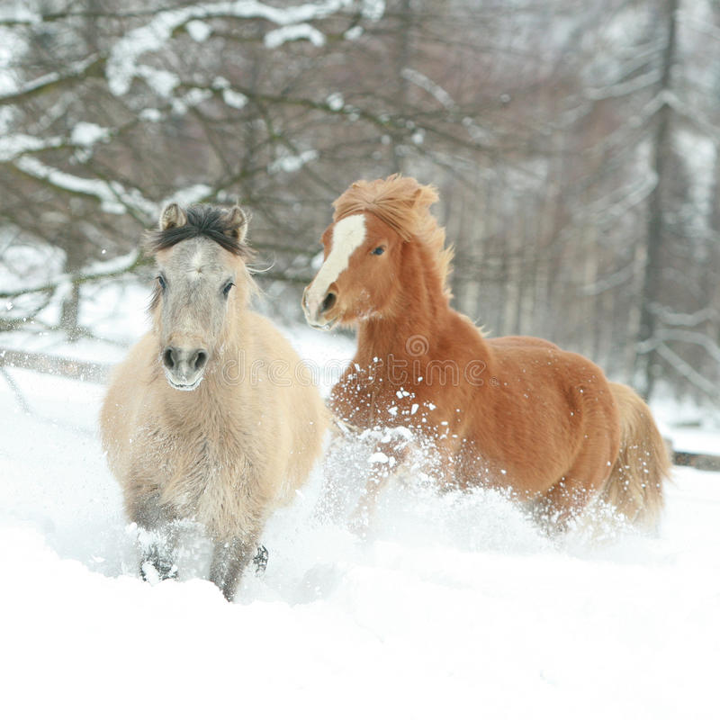 Two cute ponnies running in winter stock photo