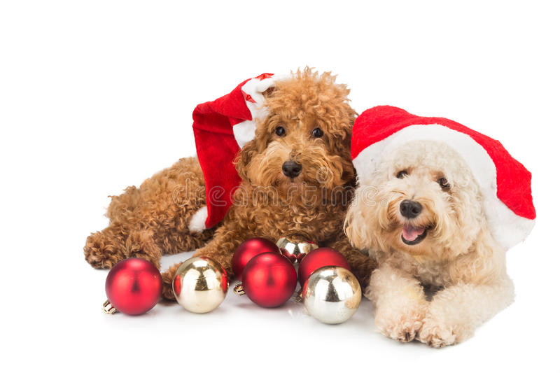 Two cute poodle puppies in santa costume with Christmas ornament royalty free stock images