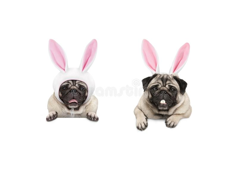 Two cute pug puppy dogs, dressed up as easter bunnies, hanging with paws on white banner royalty free stock image