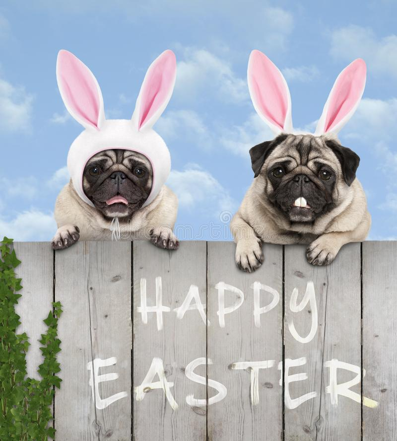 Two cute pug puppy dogs, dressed up as easter bunny, hanging with paws on wooden fence royalty free stock photos
