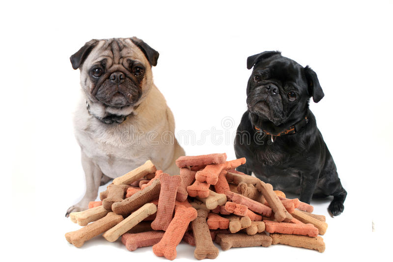 Two cute pugs behind dog treats royalty free stock images