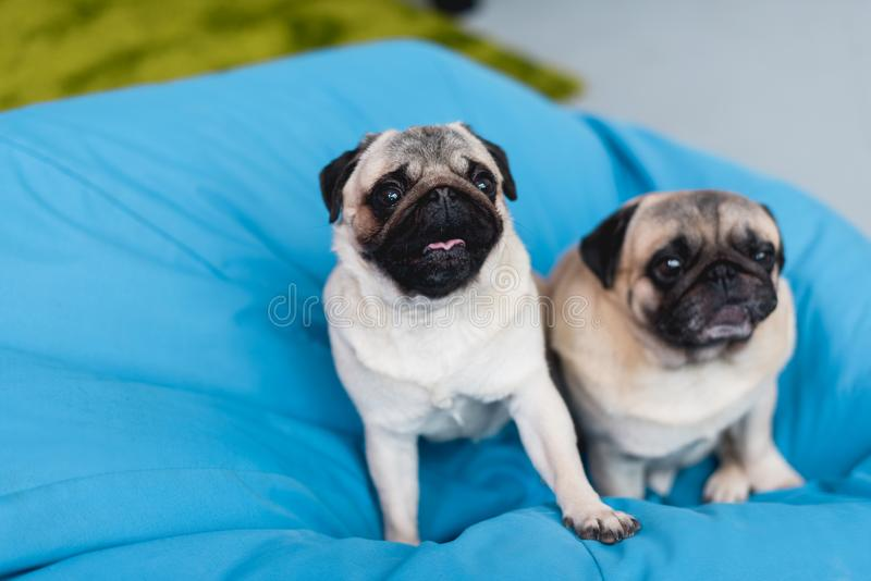 two cute pugs on blue bean bag chair stock photography