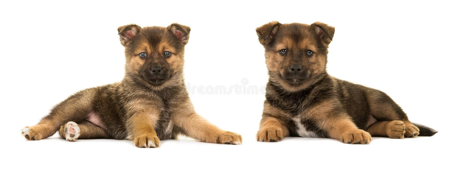 Two cute puppies pomsky. Two cute lying down pomsky (mix between pomeranian and husky) puppy dogs both facing the camera isolated on a white background royalty free stock photography