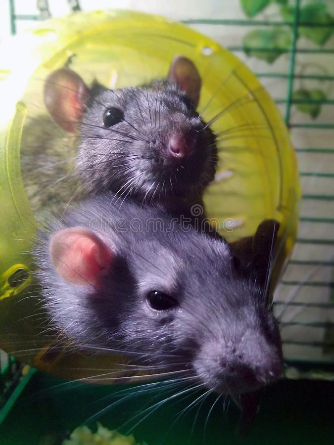 Two cute rats in a cage hanging house stock photography