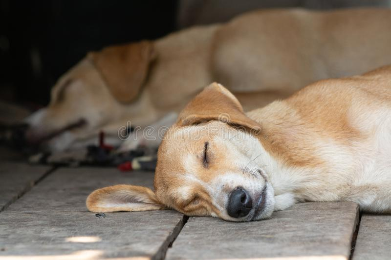 Two cute red dogs sleeping on the wooden porch. Closeup on dog head, stray, lay, snore, rest, relax, chill, couple, home, guard, security, eyes, slumber, bed royalty free stock photo