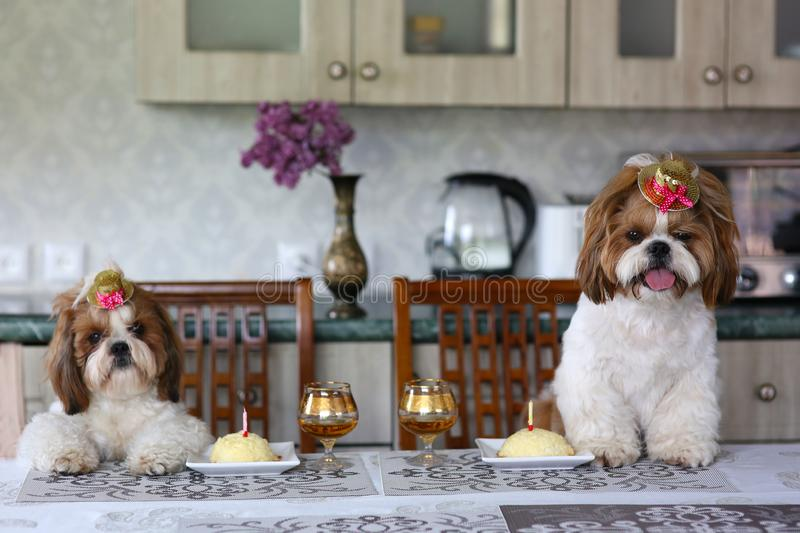 Two cute Shih Tzu dogs in festive hats at a table next to a cake with a candle. Celebration. Birthday royalty free stock image
