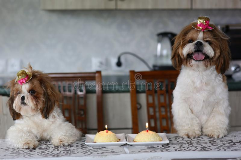 Two cute Shih Tzu dogs in festive hats at a table next to a cake with a candle. Celebration. royalty free stock photo