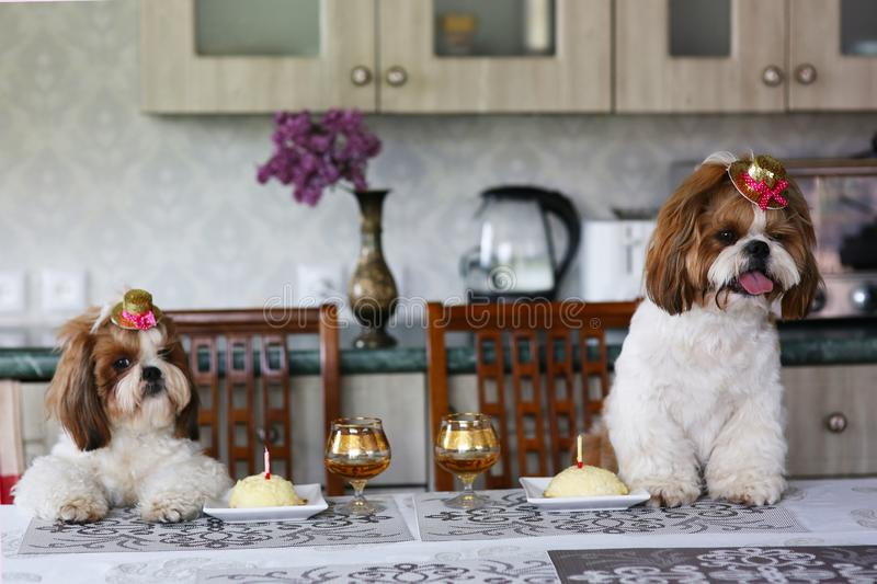 Two cute Shih Tzu dogs in festive hats at a table next to a cake with a candle. Celebration. Birthday stock image