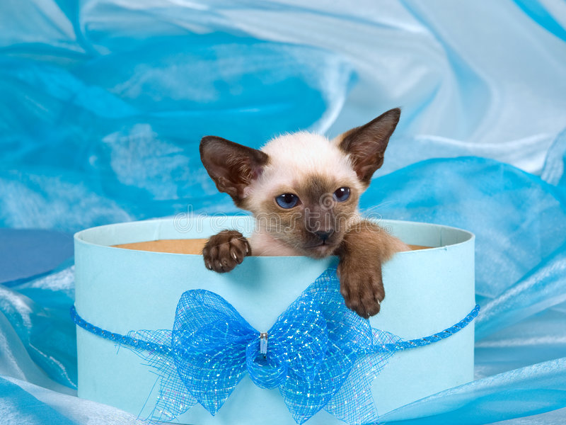 Download Two Cute Siamese Kitten In Blue Gift Box Stock Photography - Image: 8089932