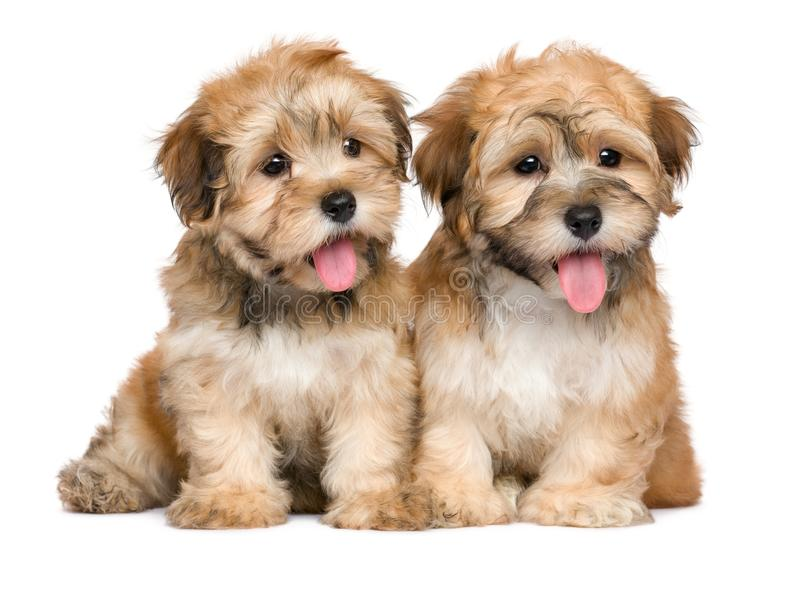 Two cute sitting havanese puppies royalty free stock photos
