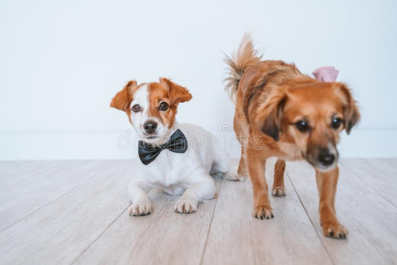 two cute small dogs lying on the floor at home wearing elegant bow tie and collar. Friendship royalty free stock photo