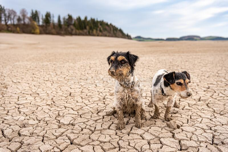 Two cute little Jack Russell Terrier dogs are sitting in the parched Forggensee in Bavary Germany stock photo