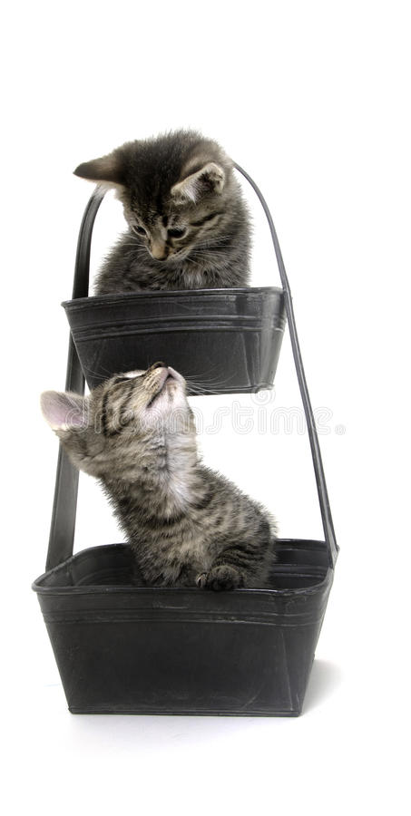 Two cute tabby kittens in flower pot royalty free stock photo