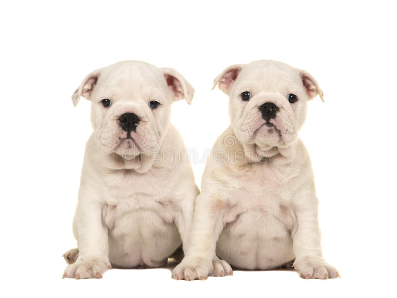Two cute white english bulldog puppy dogs sitting together and looking at the camera. Isolated on a white background royalty free stock images