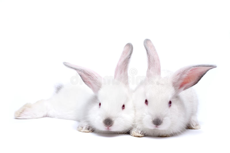 Two cute white isolated baby rabbits royalty free stock photography