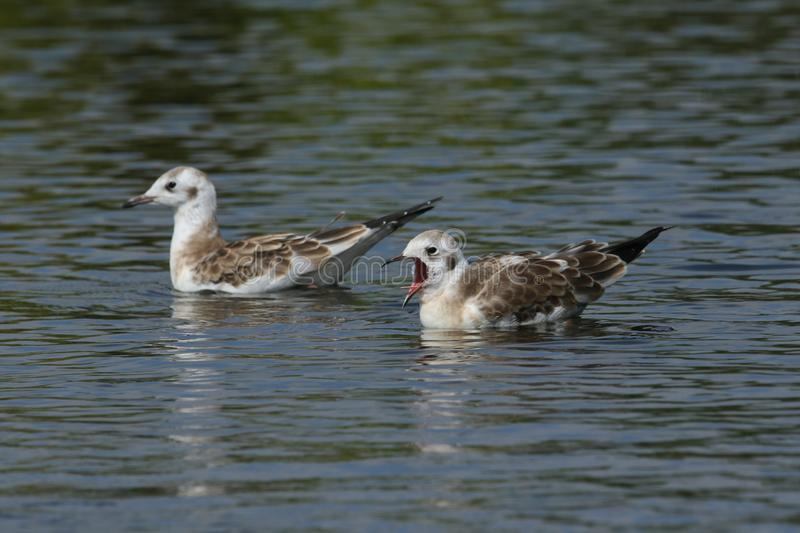 Two cute young Black-headed Gull Chroicocephalus ridibundus swimming in a lake in the UK. One of the birds has its beak open sho stock photos