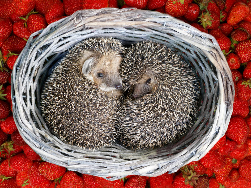 Two cute young hedgehogs curled up inside the wicker from vine baskets on the pile of strawberries royalty free stock photo