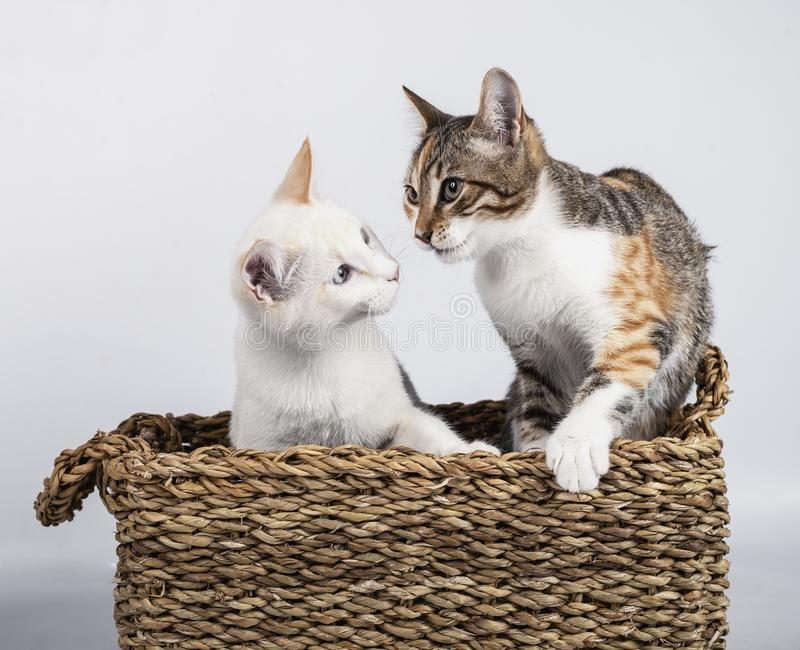 Two cute young kittens together tucked in a wicker basket on white background royalty free stock photo