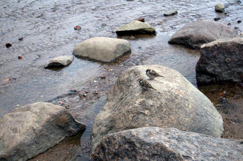 Two cute young sparrows sitting on a big boulder royalty free stock photography