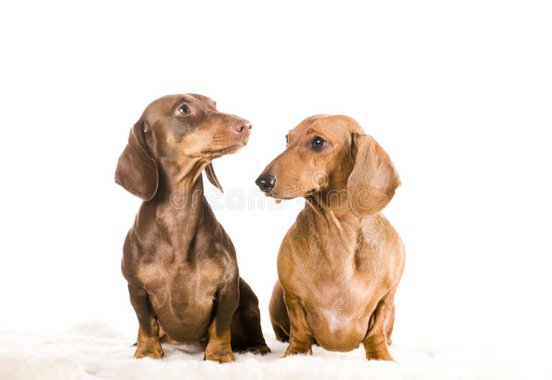 Download Two dachshund isolated stock image. Image of sitting - 17161005
