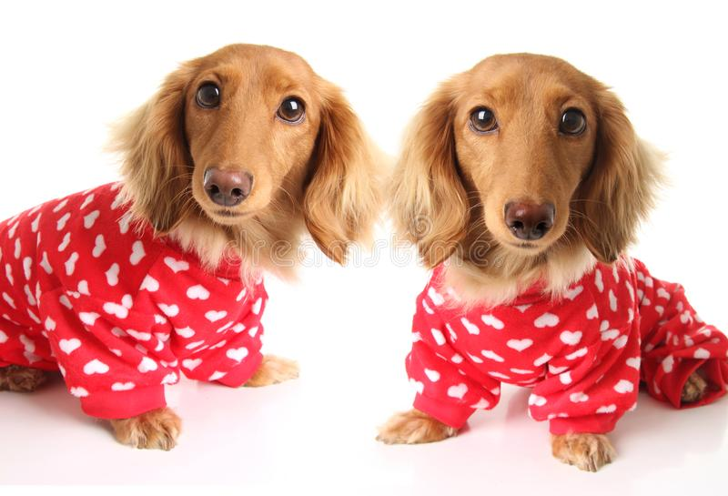 Two Dachshund puppy dogs wearing red valentines day pajamas with white hearts stock photos